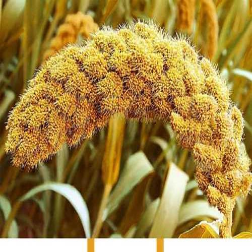 吃的小米是怎么做的_广西巴马香猪价格_冀州市日鑫农业技术综合开发有限公司