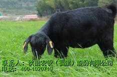 秋田农牧/福州羊肉/福州黑山羊