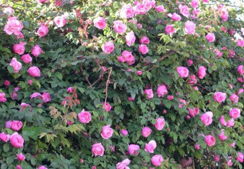 河北蔷薇|专业供应蔷薇