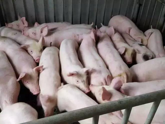 莒南县金牧仔猪购销中心/潍坊生猪/潍坊生猪养殖