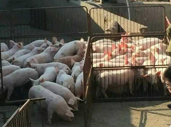 赣州仔猪,赣州仔猪价格,莒南县金牧仔猪购销中心