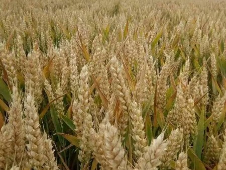 成穗率好的麦种销售商_哪里有批发麦种