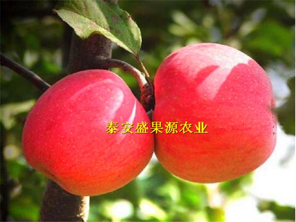 煙富8蘋果樹苗