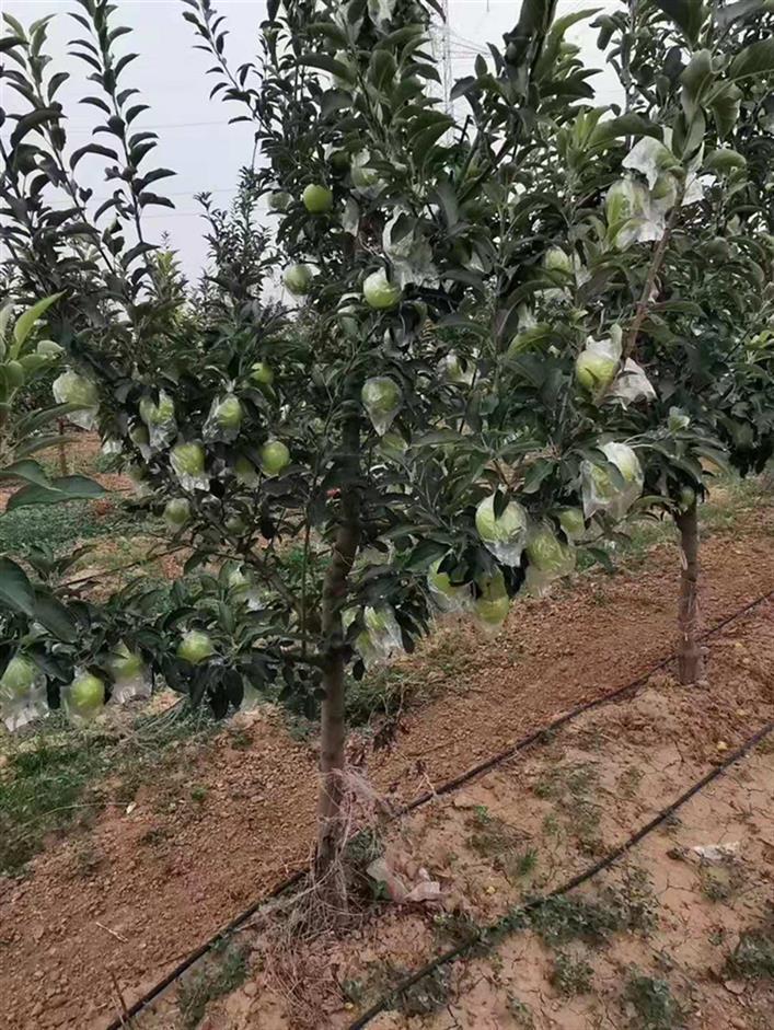 山西4公分蘋果樹報價