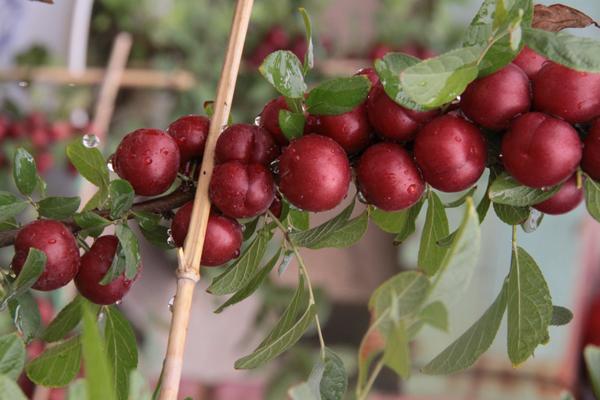 遼寧新品種鈣果苗報價