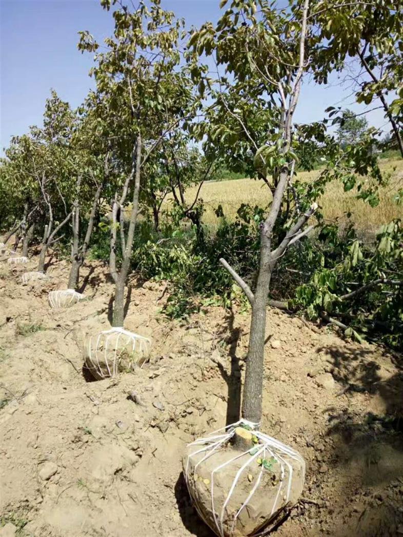 河北1公分柿子苗 日本甜柿苗 提供免費樣品