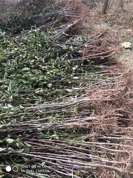 4公分李子樹哪里有賣 規格齊全 現貨供應