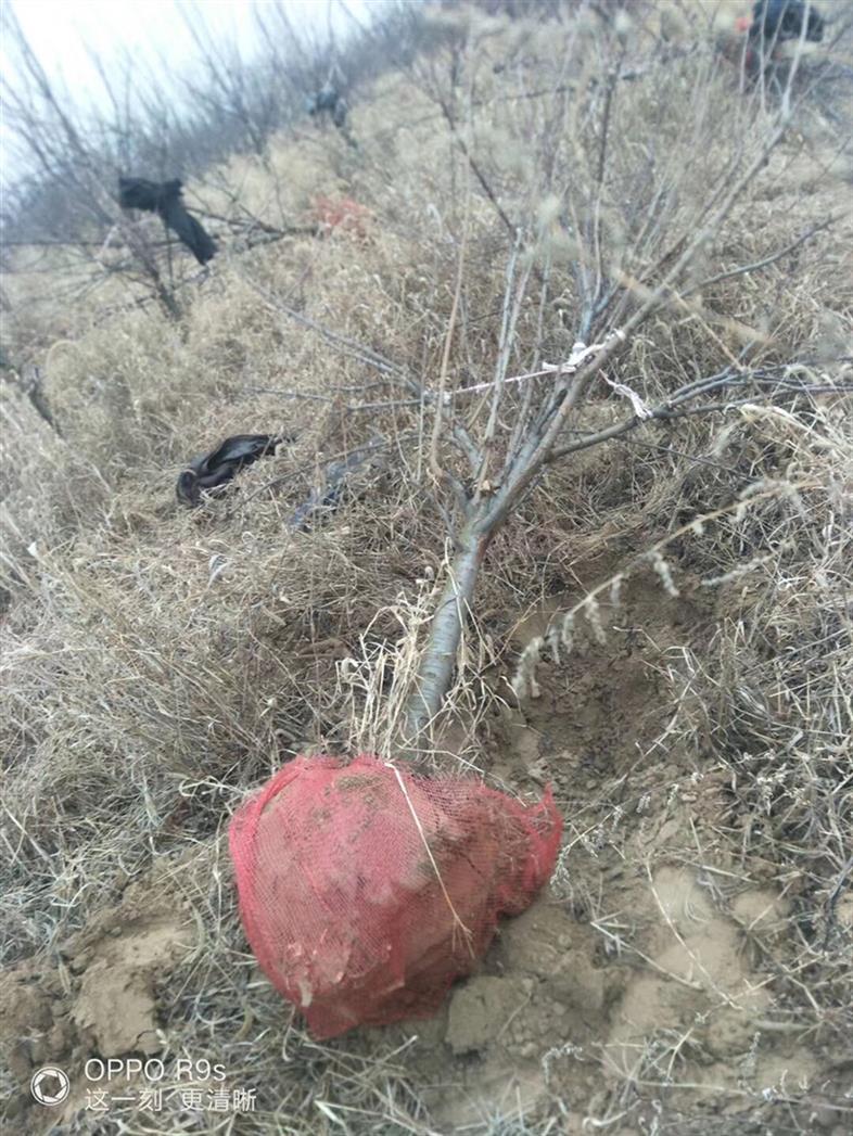 4公分李子樹哪里有賣