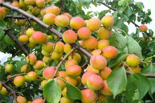 郴州杏树苗出售