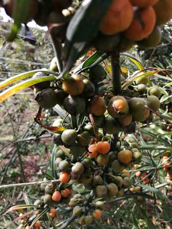 六盤水滇黃精種植基地 常年培育種子