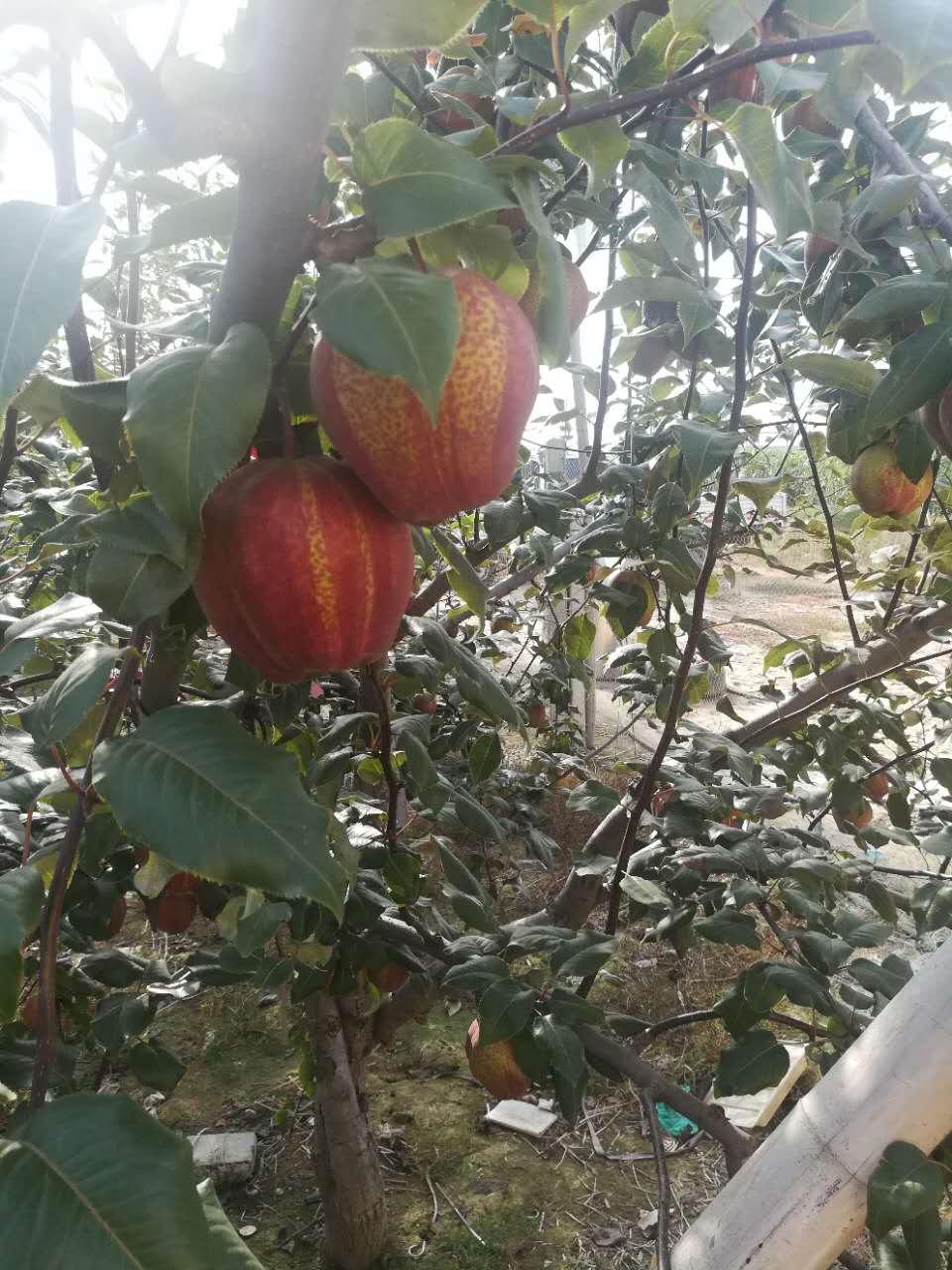 大興安嶺黃花梨樹苗新品種