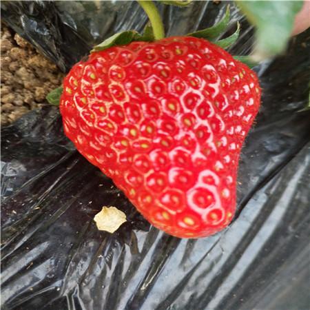 太空2008草莓樹苗生產基地