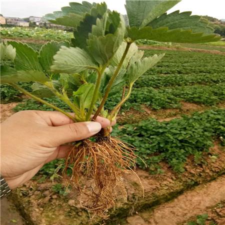 達賽萊克特草莓樹苗生產基地