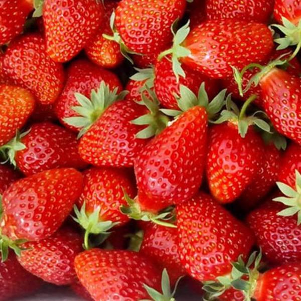 薄利多銷草莓苗什么時間種植好