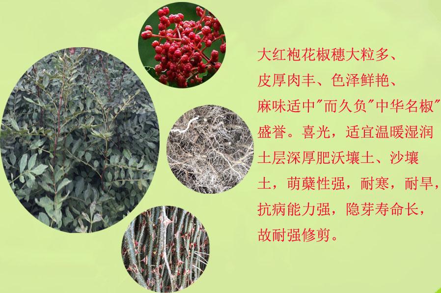 1-2年的花椒苗果樹苗新品種