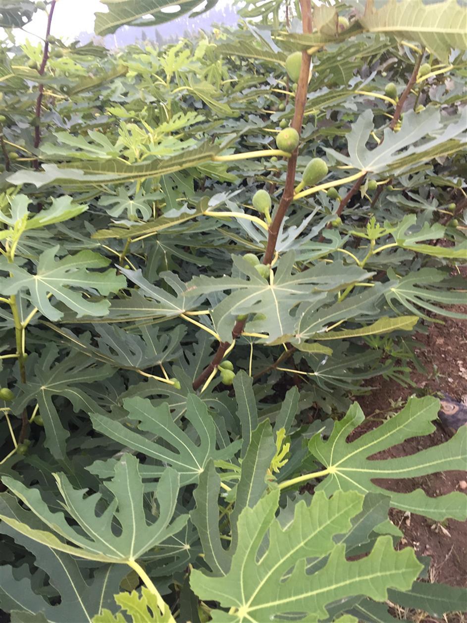 1-2年的無花果苗果樹苗新品種