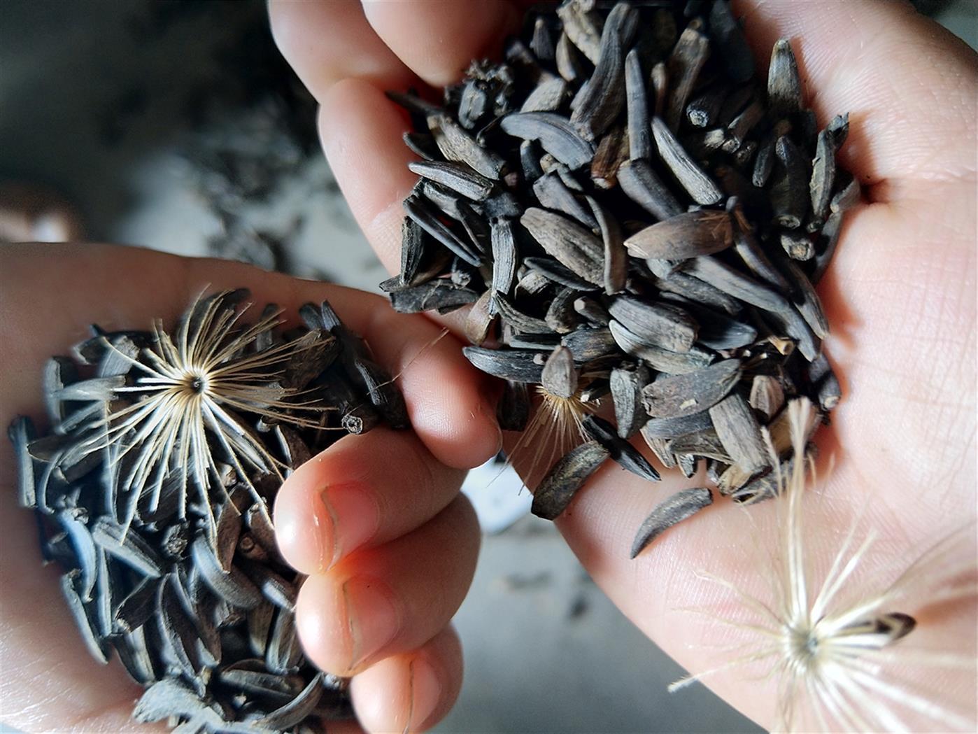 黔西南云木香種子批發價格