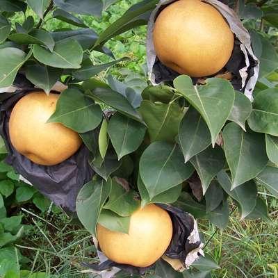 庫爾勒香梨梨樹苗銷售價格