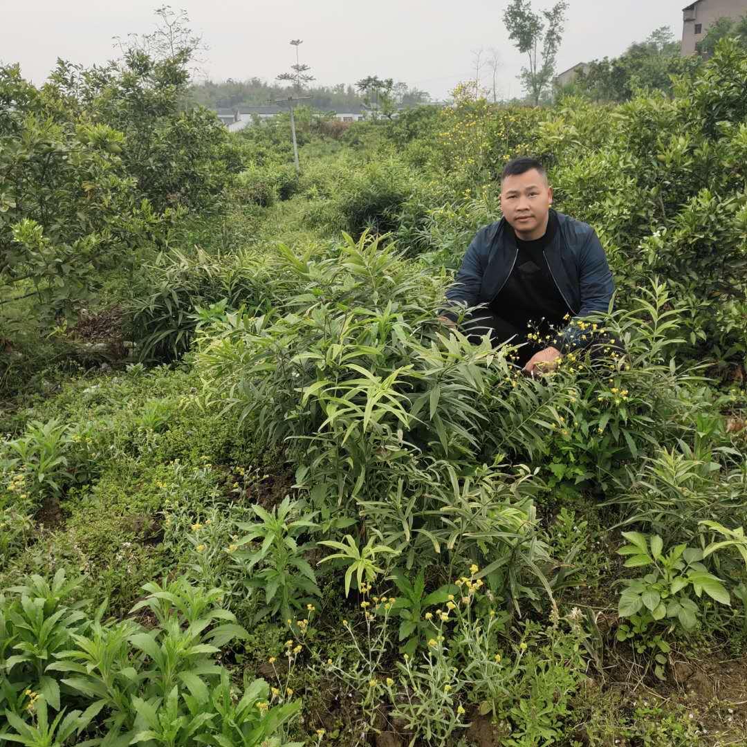 廣元黃精種植合作社 貓兒姜 基地直營