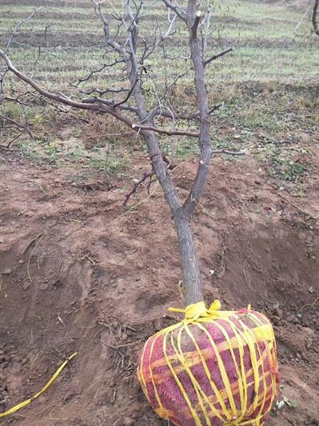 山西10公分占地棗樹出售 產地直供
