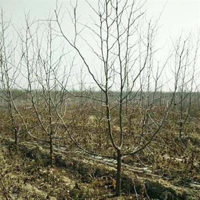 山西10公分占地棗樹出售