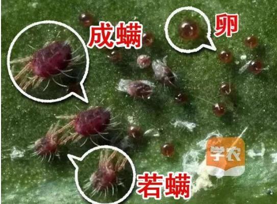 紅蜘蛛殺蟲殺螨劑