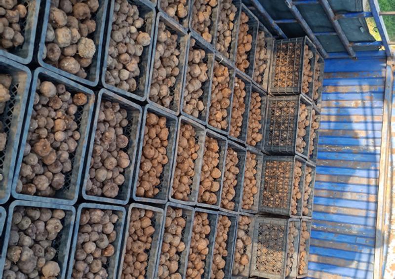 曲靖魔芋種子基地 服務為先 云南騰輝魔芋種子供應