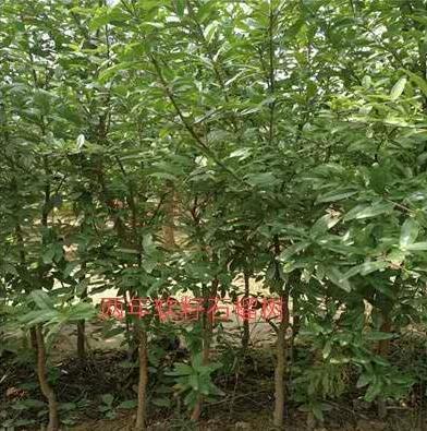 晉中軟籽石榴樹苗批發