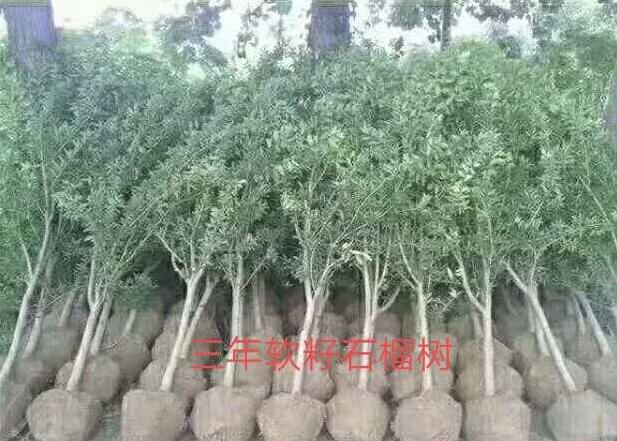 無錫軟籽石榴樹苗種植基地 突尼斯