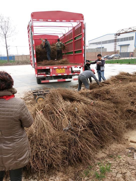 無錫軟籽石榴樹苗種植基地