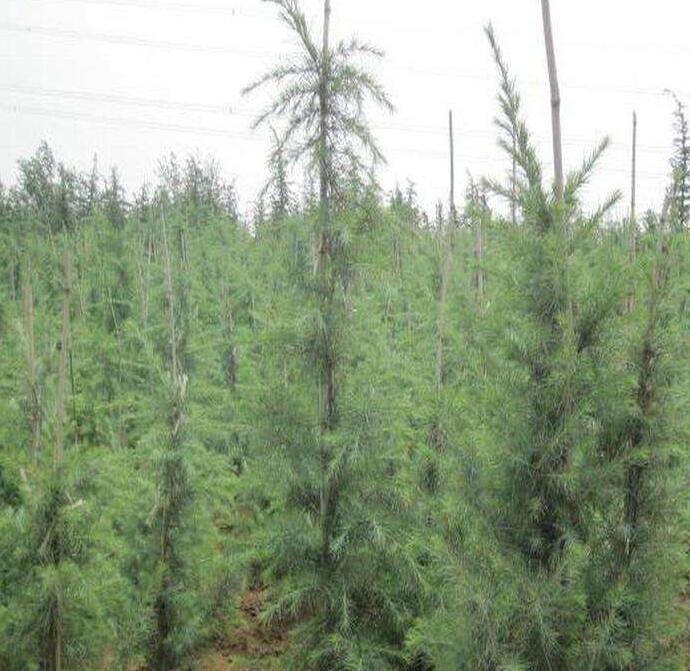 池州綠化雪松苗 雪松盆景苗 成活率高
