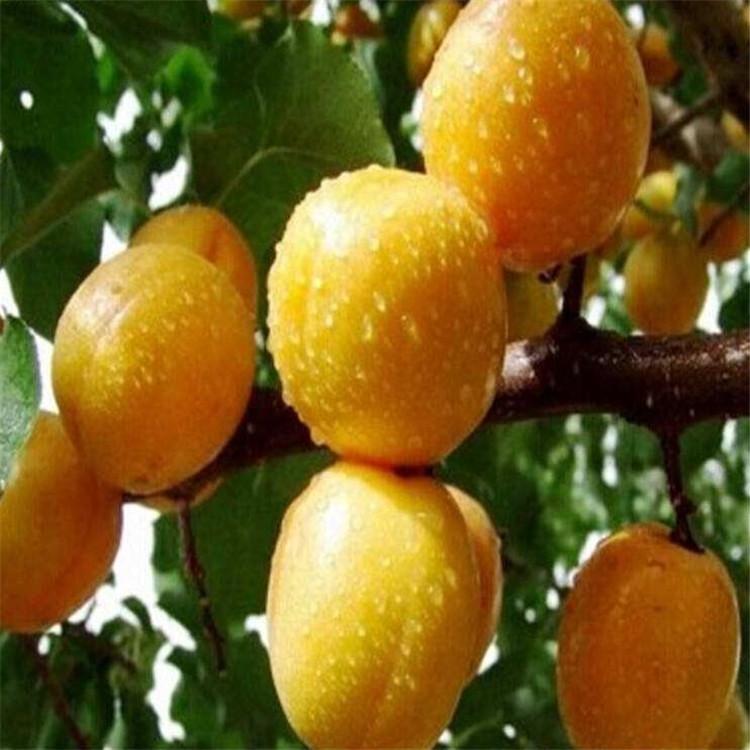 安徽金太陽杏樹苗培育 春白杏 量大價優