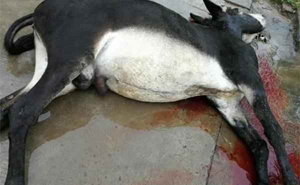 山東淄博批發生驢肉驢下水