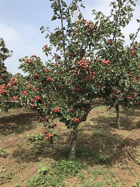 山西3公分山楂树 红果树 现场挖苗 成活率高