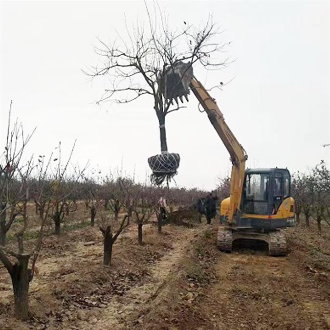 6公分柿子树基地小区绿化