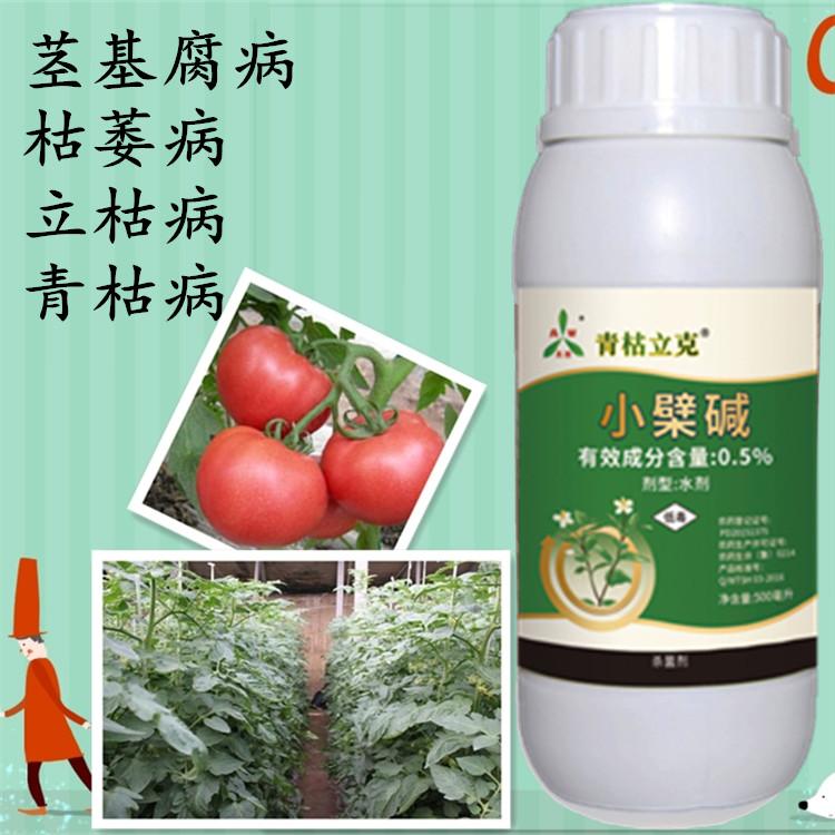 秋季种植番茄青枯病怎样预防 厂家批发