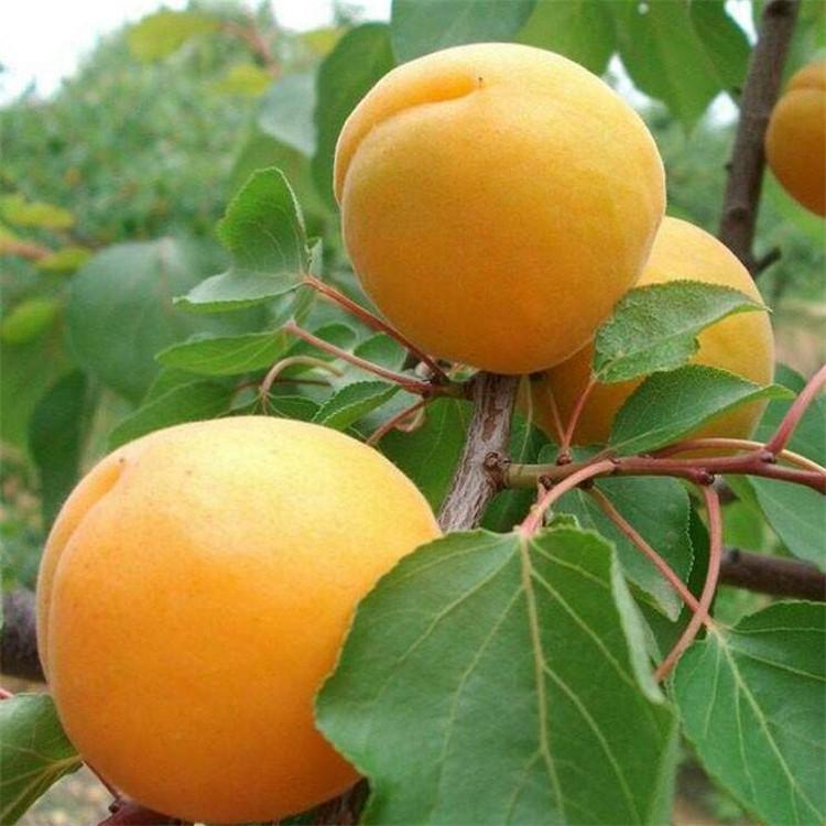 内蒙古红丰甜杏树苗批发 1公分杏苗 种类多样